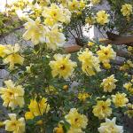 Roses on the Pergola